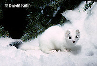 MA28-138z  Short-Tailed Weasel - ermine exploring in winter, camouflaged - Mustela erminea
