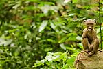 Olive Baboon (Papio anubis) young feeding, Kibale National Park, western Uganda