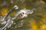 Common redpoll perched in a snow-covered pine tree