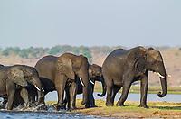 African Elephant (Loxodonta africana), breeding herd has been crossing the Chobe River, Chobe National Park, Botswana, Africa