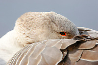 Greylag goose (Anser anser), feathers