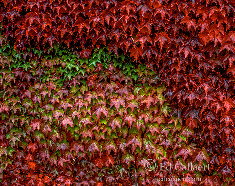 Boston Ivy, Parthenocissus tricuspidata, Veitchii, Mill Valley, Marin County, California