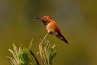 Male Rufous Hummingbird (Selasphorus rufus) vocalizing-squeaky chirp.  Western Washington.  April.