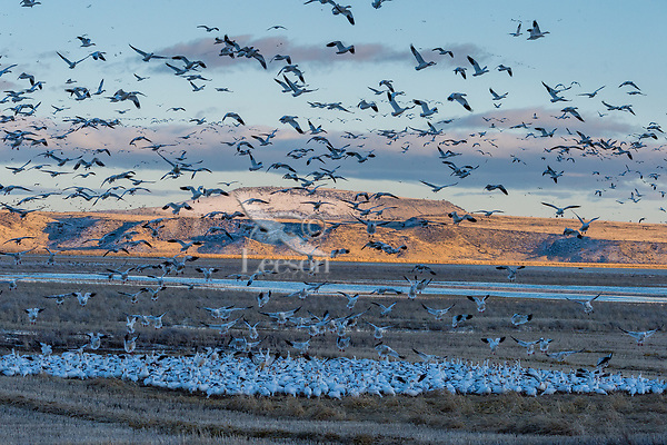 Snow Geese (Chen caerulescens) landing in field, Lower Klamath NWR, Oregon/California.  Feb-March.  Evening.