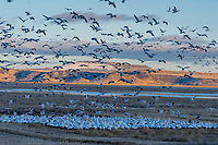 Snow Geese (Chen caerulescens) landing in field, Lower Klamath NWR, Oregon/California.  Feb-March.  Evening.