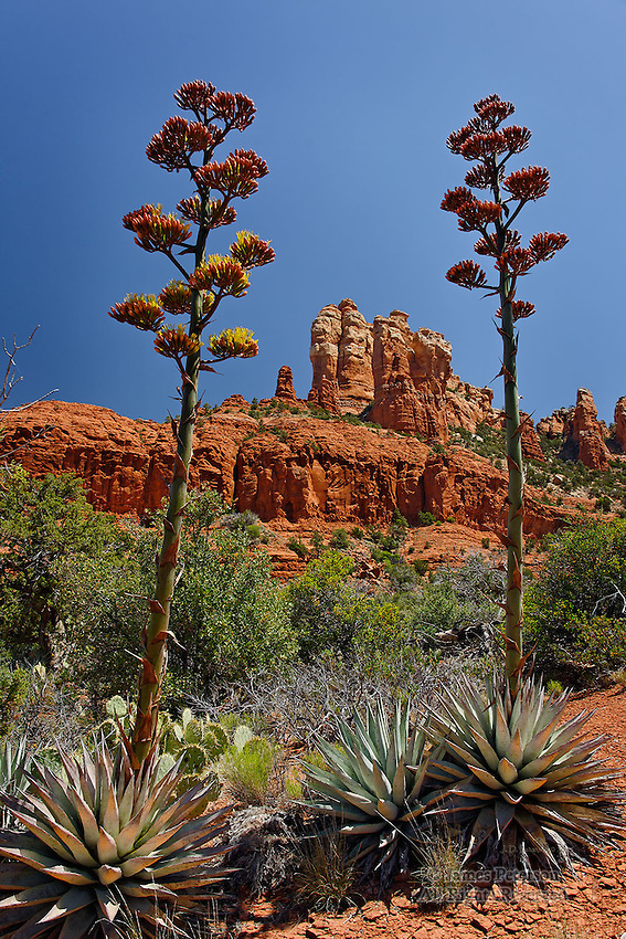Century Plants, Devil's Dining Room, near Sedona, Arizona