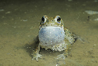 Natterjack Toad , Bufo calamita, male calling at night, Edlibach, Zug, Switzerland, April 1992