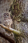 USA, California, Pt. Reyes National Seashore, (Strix occidentalis caurina)<br /> Northern Spotted Owl