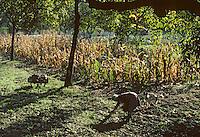 Europe/France/Limousin/19/Corrèze/Vallée de la Dordogne/Env Beaulieu-sur-Dordogne: Ramassage des noix <br /> PHOTO D'ARCHIVES // ARCHIVAL IMAGES<br /> FRANCE 1980