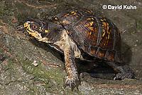 1002-0811  Male Eastern Box Turtle, Terrapene carolina © David Kuhn/Dwight Kuhn Photography.