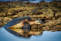 Green sea turtle. resting on shore. Hawaii, The Big Island