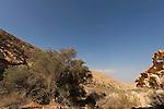 T-058 Olive Tree in the Negev Desert