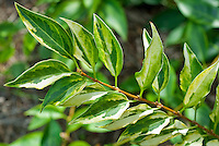 Forsythia 'Golden Times' foliage variegated