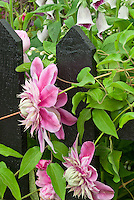 Clematis Josephine aka Evijohill climbing black picket fence, pink double flowered vine perennial, with foxglove Digitalis in bloom