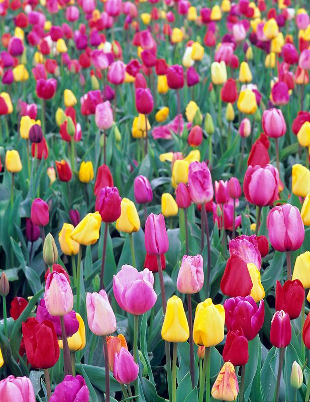 Mixed tulips. Wooden Shoe Bulb Company, Oregon.