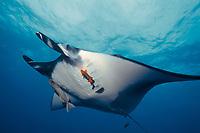 Pacific manta ray with remora and Clarion angelfish, San Benedicto Island, Revilligigedos, Manta birostris, Remora sp., Holacanthus clarionensis, Mexico, East Pacific Ocean