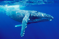 male humpback whale, .Megaptera novaeangliae, .Hawaii (Pacific).