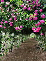Tunnel through climbing roses. Heirloom Gardens. St. Paul, Oregon