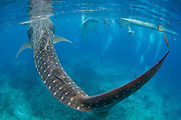 Whale sharks, Rhincodon typus, in Oslob, Philippines, Indo-Pacific Ocean Whale sharks gather here on a daily basis as the fishermen feed them here. This has become a major albeit controversial tourist attraction.