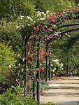Climbing Roses at Descanso Gardens