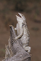 Texas Spiny Lizard (Sceloperus olivaceus), adult in defense pose, Starr County, Rio Grande Valley, Texas, USA