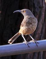 Adult curved-bill thrasher