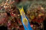 Blue ribbon eel (Rhinomuraena quaesita).