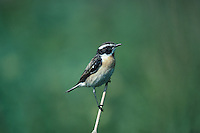 Whinchat,  Saxicola rubetra, male, Rothenthurm, Switzerland, May 1991