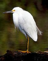 Adult snowy egret in non-breeding plumage
