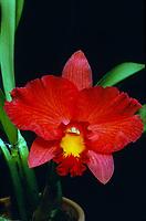 Cattleya aka Sophrolaeliocattleya (Cattleya California Apricot x C. Bellicent) , unregistered orchid hybrid, mini-catt, miniature cattleya orchid