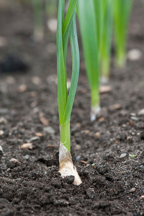 New garlic, about three weeks after cloves were planted.