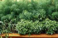 Herbs, dill and basil in organic raised bed vegetable garden