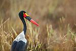 Saddle-billed Stork (Ephippiorhynchus senegalensis) female, Kafue National Park, Zambia