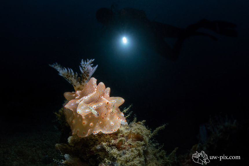 Halgerda batangas nudibranch with diver in background in Lembeh