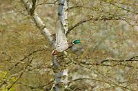 Mallard Duck drake (Anas platyrhynchos).  Pacific Northwest.  Spring.