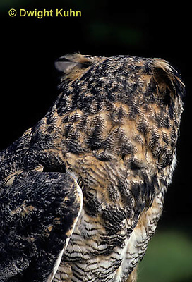 OW06-046a  Great horned owl - turning head - Bubo virginianus