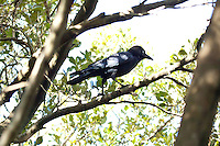 Torresian Crow, Kooloobung Crk Park, Port Macquarie, NSW, Australia