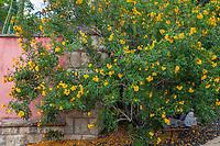 Tecoma 'Sunrise' (Sunrise Yellow Bells), Los Angeles County Arboretum and Botanic Garden