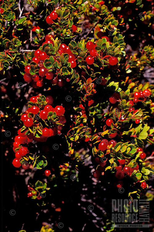 Ohelo berries, a native Hawaiian berry, are popular in jams and are eaten by the endangered nene goose