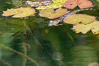 baby Morelet's crocodile, Belize, Caribbean, Atlantic crocodile, or Central American crocodile, Crocodylus moreletii, swimming in Cabbage Hole Creek, Stann Creek District, Belize, Caribbean, Atlantic, Central America, Caribbean, Atlantic