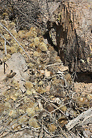 Nest of white-throated woodrat, Neotoma albigula, made with branches of Jumping cholla, Cylindropuntia bigelovii. Saguaro National Park, Arizona