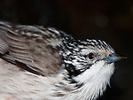 Striped Honeyeater, Plectorhyncha lanceolata