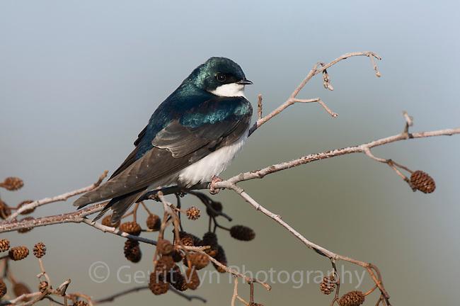 Adult Tree Swallow (Tachycineta bicolor). Tompkins County, New York. May.
