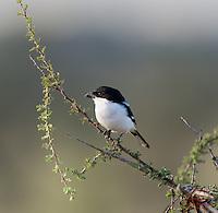 "Common Fiscal Shrike (Lanius collaris) (""Butcher Bird"") impales prey on thorns"