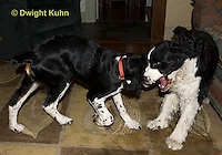SH25-617z English Springer Spaniel, young dogs playing and wrestling