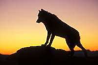 Gray wolf or Timber wolf (Canis lupus) at sunrise.