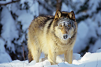 Gray Wolf (Canis lupus).  Winter.  Minnesota.