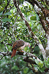 Adult Pink Pigeon (Columba (formerly Nesoenas) mayeri) in native forest, Mt Cocote, Black River Gorges National Park, Mauritius, Indian Ocean.