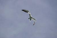 Bird Northern Gannet Morus bassanus or Sula bassana flying over sea