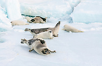 harp seal, Pagophilus groenlandicus, mother and pups laying on Ice floe, Magdalen Islands, Quebec, Canada, Gulf of Saint Lawrence, Atlantic Ocean